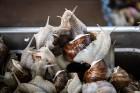 Preiļu pilsētas svētkos tika rīkotas īpašās sacensībās - Latgales gliemežu skriešanas 2. čempionāts