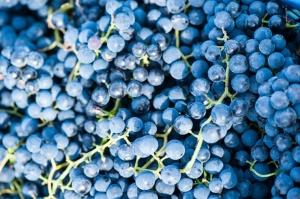 Abavas vīna darītavā veiksmīgi novākta vīnogu raža un iegūtas 7,5 tonnas ogu, kas vīndarītavā nozīmē rekordražu