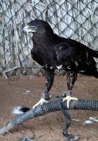 Travelnews.lv apmeklē plēsējputnu centru «Kalba Bird of Prey Centre» Šārdžas emirātā. Atbalsta: VisitSharjah.com un Novatours.lv 10
