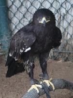 Travelnews.lv apmeklē plēsējputnu centru «Kalba Bird of Prey Centre» Šārdžas emirātā. Atbalsta: VisitSharjah.com un Novatours.lv 12