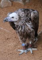 Travelnews.lv apmeklē plēsējputnu centru «Kalba Bird of Prey Centre» Šārdžas emirātā. Atbalsta: VisitSharjah.com un Novatours.lv 16