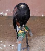 Travelnews.lv apmeklē plēsējputnu centru «Kalba Bird of Prey Centre» Šārdžas emirātā. Atbalsta: VisitSharjah.com un Novatours.lv 27