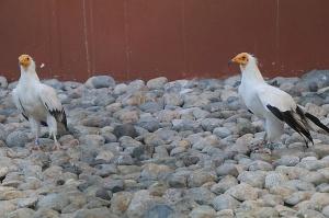 Travelnews.lv apmeklē plēsējputnu centru «Kalba Bird of Prey Centre» Šārdžas emirātā. Atbalsta: VisitSharjah.com un Novatours.lv 28
