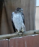 Travelnews.lv apmeklē plēsējputnu centru «Kalba Bird of Prey Centre» Šārdžas emirātā. Atbalsta: VisitSharjah.com un Novatours.lv 33