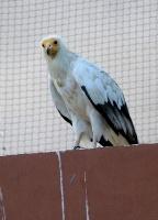 Travelnews.lv apmeklē plēsējputnu centru «Kalba Bird of Prey Centre» Šārdžas emirātā. Atbalsta: VisitSharjah.com un Novatours.lv 36