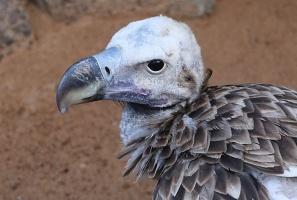 Travelnews.lv apmeklē plēsējputnu centru «Kalba Bird of Prey Centre» Šārdžas emirātā. Atbalsta: VisitSharjah.com un Novatours.lv 37