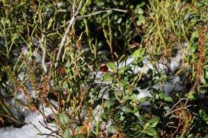 Ragakāpas dabas parkā Jūrmalā mostas pavasaris 1