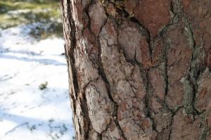 Ragakāpas dabas parkā Jūrmalā mostas pavasaris 3