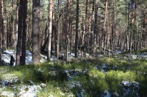 Ragakāpas dabas parkā Jūrmalā mostas pavasaris 4