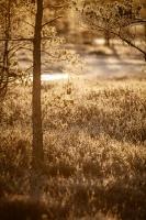 Lielo Ķemeru tīreli saullēktā pielej silti gaismas stari 3