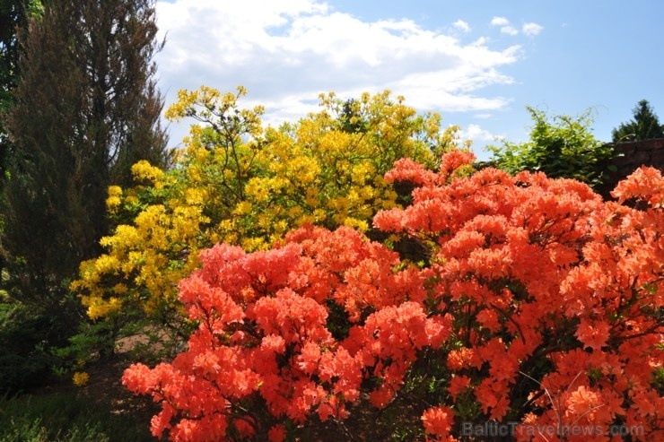 Nacionālajā botāniskajā dārzā Salaspilī krašņi zied rododendri
