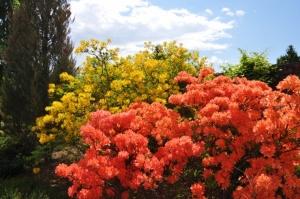 Nacionālajā botāniskajā dārzā Salaspilī krašņi zied rododendri 1