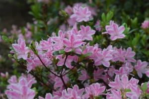 Nacionālajā botāniskajā dārzā Salaspilī krašņi zied rododendri 3