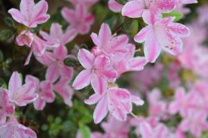 Nacionālajā botāniskajā dārzā Salaspilī krašņi zied rododendri 4