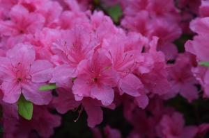 Nacionālajā botāniskajā dārzā Salaspilī krašņi zied rododendri 6