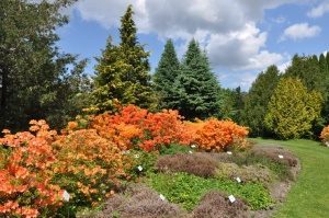 Nacionālajā botāniskajā dārzā Salaspilī krašņi zied rododendri 9