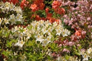 Nacionālajā botāniskajā dārzā Salaspilī krašņi zied rododendri 11