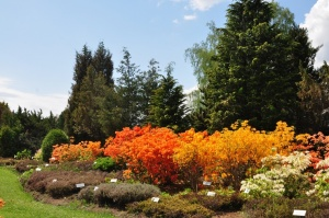 Nacionālajā botāniskajā dārzā Salaspilī krašņi zied rododendri 12
