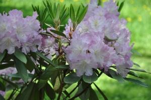 Nacionālajā botāniskajā dārzā Salaspilī krašņi zied rododendri 13