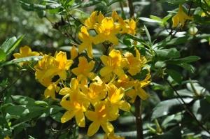 Nacionālajā botāniskajā dārzā Salaspilī krašņi zied rododendri 14