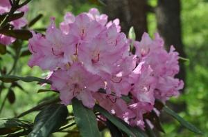Nacionālajā botāniskajā dārzā Salaspilī krašņi zied rododendri 15