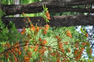 Nacionālajā botāniskajā dārzā Salaspilī krašņi zied rododendri 17