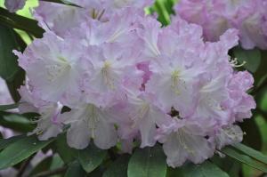 Nacionālajā botāniskajā dārzā Salaspilī krašņi zied rododendri 18