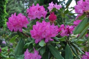 Nacionālajā botāniskajā dārzā Salaspilī krašņi zied rododendri 22