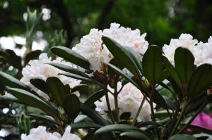 Nacionālajā botāniskajā dārzā Salaspilī krašņi zied rododendri 23