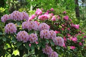 Nacionālajā botāniskajā dārzā Salaspilī krašņi zied rododendri 25