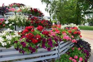 Valmieru vasaras pilnbriedā izdaiļo krāšņākie ziedi 17