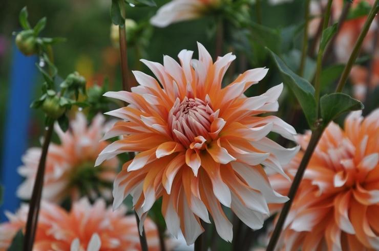 Nacionālajā botāniskajā dārzā Salaspilī krāšņi zied ziemcietes