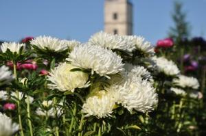 Nacionālajā botāniskajā dārzā Salaspilī krāšņi zied ziemcietes 1