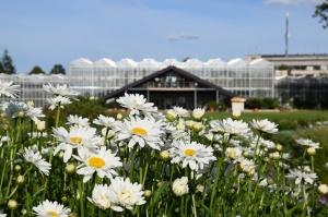 Nacionālajā botāniskajā dārzā Salaspilī krāšņi zied ziemcietes 2