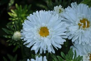 Nacionālajā botāniskajā dārzā Salaspilī krāšņi zied ziemcietes 4