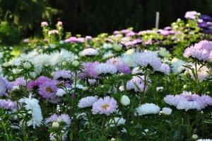Nacionālajā botāniskajā dārzā Salaspilī krāšņi zied ziemcietes 6