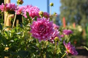 Nacionālajā botāniskajā dārzā Salaspilī krāšņi zied ziemcietes 7