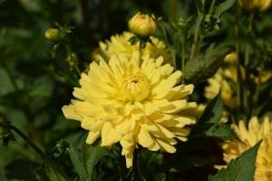Nacionālajā botāniskajā dārzā Salaspilī krāšņi zied ziemcietes 8