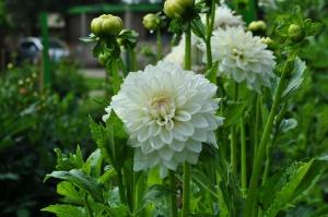 Nacionālajā botāniskajā dārzā Salaspilī krāšņi zied ziemcietes 9