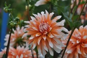 Nacionālajā botāniskajā dārzā Salaspilī krāšņi zied ziemcietes 10