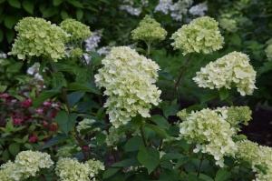 Nacionālajā botāniskajā dārzā Salaspilī krāšņi zied ziemcietes 12