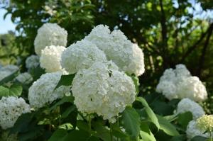 Nacionālajā botāniskajā dārzā Salaspilī krāšņi zied ziemcietes 13