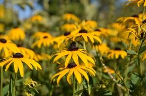 Nacionālajā botāniskajā dārzā Salaspilī krāšņi zied ziemcietes 17