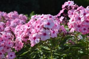 Nacionālajā botāniskajā dārzā Salaspilī krāšņi zied ziemcietes 18