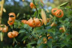 Nacionālajā botāniskajā dārzā Salaspilī krāšņi zied ziemcietes 20