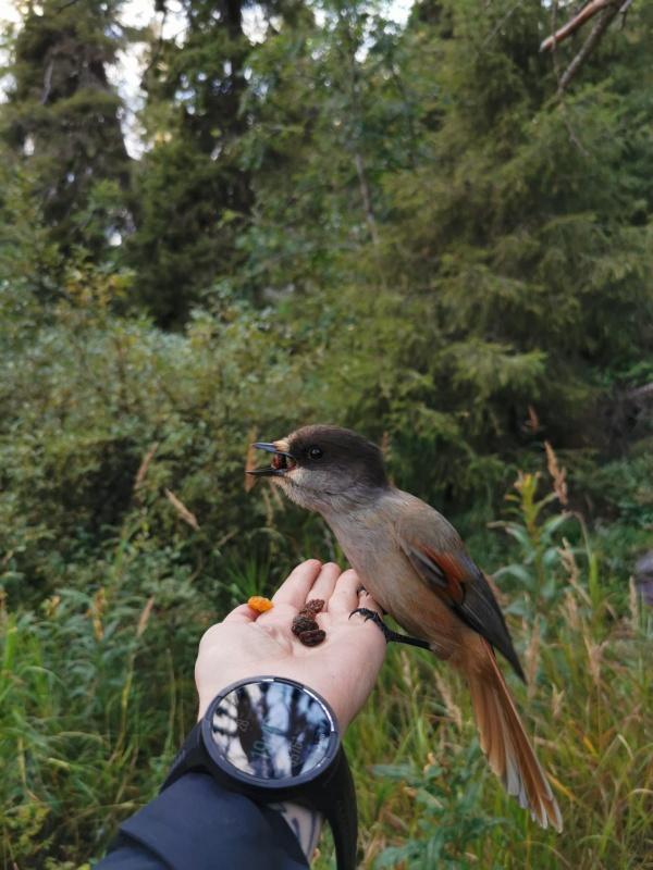 Vai esi kādreiz barojis putnus šādi? Ja roka netrīs un krājumā ir kas garšīgs, tad tas nav tik grūti kā izskatās. Bēdroži gan ir izvēlīgi, ar auzu pār 291266