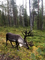 Ik pa brīdim iespējams sastapt ziemeļbriežus, kas netraucēti ganās tuvējos ķērpju mežos 38