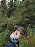 Vai esi kādreiz barojis putnus šādi? Ja roka netrīs un krājumā ir kas garšīgs, tad tas nav tik grūti kā izskatās. Bēdroži gan ir izvēlīgi, ar auzu pār 49
