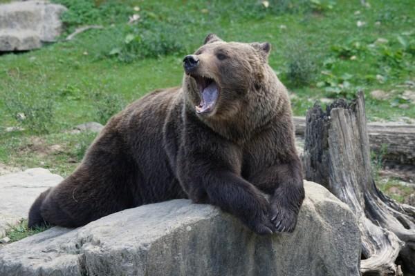 Tūristi Alpos aizvien biežāk sastop lāčus (video)