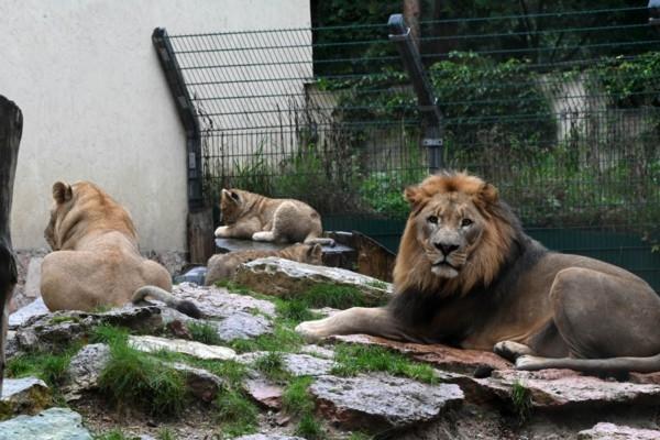 Rīgas Zooloģiskā dārza lauvēniem drīz kristības (V